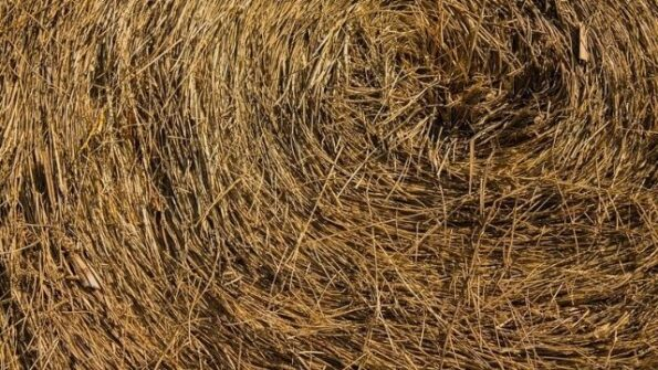 Champs de blé revalorise les tiges pour fabriqué des pailles réutilisables